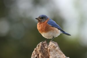 Eastern Bluebird perched on a tree stump.